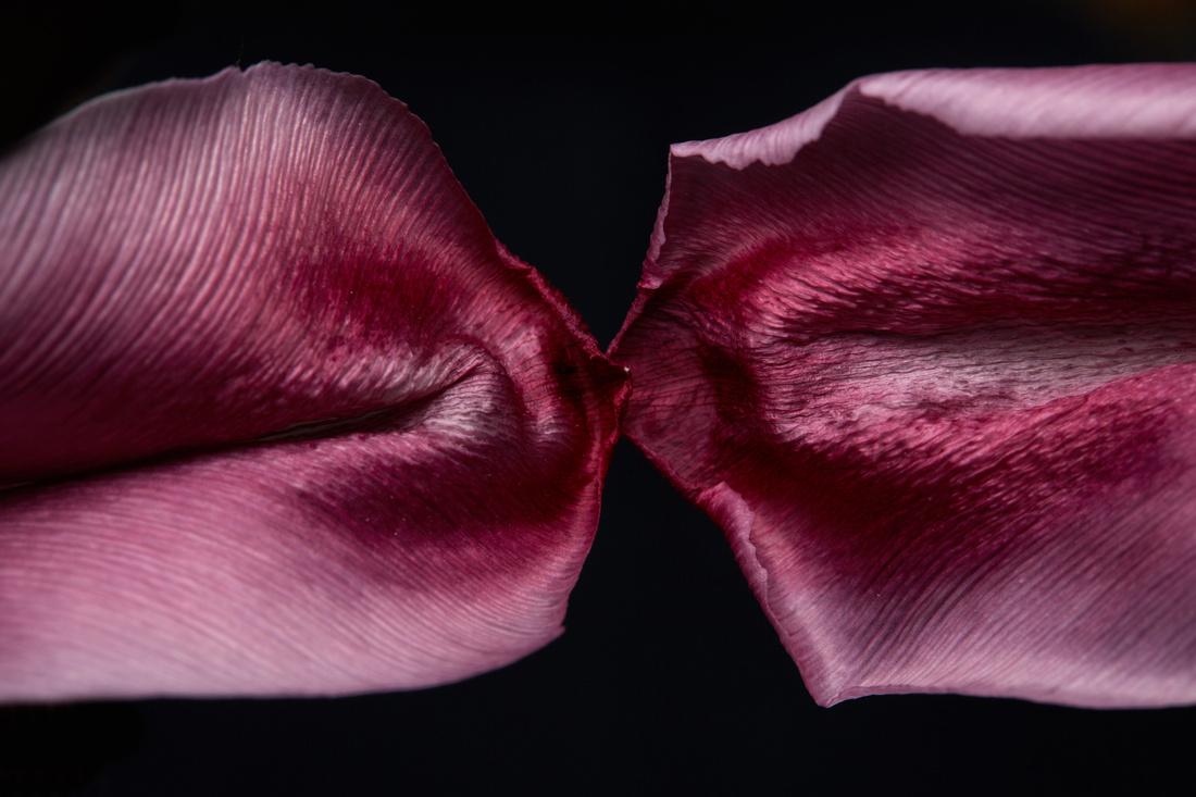 Tulpen 2 May