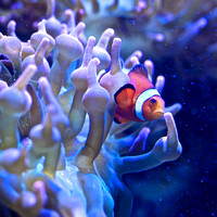 Amphiprion percula Orange clownfish
