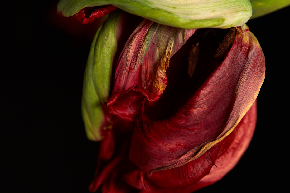 Wilted Tulip: 14-April